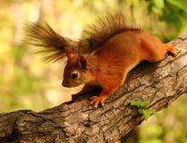 Curious squirrel Stock Photo
