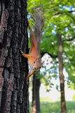 Curious squirrel on a tree Royalty Free Stock Photo