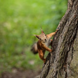 Curious squirrel on the tree. Stock Photos