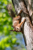 Curious squirrel on a tree Royalty Free Stock Images