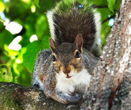 Curious Squirrel in Tree stock photo