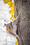 Curious squirrel on tree trunk macro Royalty Free Stock Photo