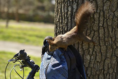 Curious squirrel trying to get inside backpack Royalty Free Stock Photo