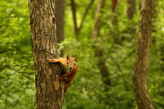 Curious squirrel waiting for nuts Royalty Free Stock Image