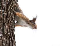 Curious squirrel in winter on tree Stock Photo