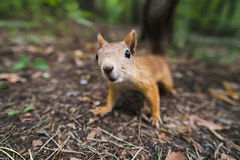 Curious squirrel. In the woods, land in the forest stock photography