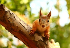 Curious squirrel Royalty Free Stock Photo