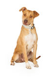 Curious Staffordshire Bull Terrier Mix Breed Dog Sitting Stock Images