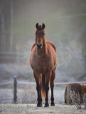 A curious stallion in his corral on a frosty November morning. Stock Images
