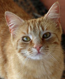 Curious striped ginger tabby kitten Stock Images