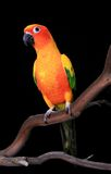 Curious Sun Conure Parrot Looking Ahead Royalty Free Stock Photos