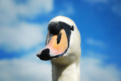 Curious swan. A curious swan face in front of a blue cloudy sky stock images