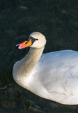 Curious Swan In Pond Royalty Free Stock Photography