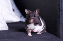 Curious syrian hamster portrait Stock Image