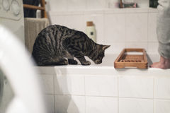 Curious tabby cat on edge of bath watching flowing water. Curious tabby cat on edge of a bath watching flowing water Royalty Free Stock Images