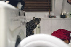 Curious tabby cat on edge of bath watching flowing water. Stock Photography
