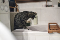 Curious tabby cat on edge of bath watching flowing water. Stock Photos