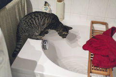Curious tabby cat on edge of bath watching flowing water. Curious tabby cat on the edge of a bath watching flowing water Royalty Free Stock Image