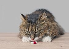 Curious tabby cat sniffs on medicine capsules on the table. Horizontal image stock photo