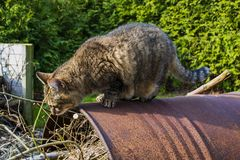 A curious tabby cat standing on a rusty barrel outdoors. royalty free stock photography