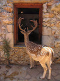 Curious tamed spotted deer looking inside a human house through the window. Curious tamed spotted deer cervidae looking inside a human house through the window Royalty Free Stock Photo