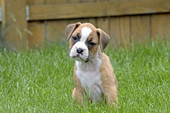 Curious Tan and White Boxer Puppy. Adorable, curious tan and white boxer puppy with head cocked in green grass Stock Photo