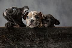 Curious threes little american bully puppies looking up royalty free stock photography
