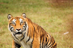 Curious Tiger Royalty Free Stock Photography