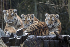 Curious Tiger baby,s in a row. Royalty Free Stock Images
