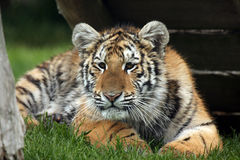 Curious Tiger Cub. Siberian Tiger Cub watching something intently and getting ready to pounce Stock Photos