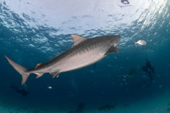 A curious tiger shark. A tiger shark swimming peacefully past a group of divers in a dark blue ocean stock photo