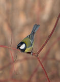 The curious titmouse Royalty Free Stock Photo