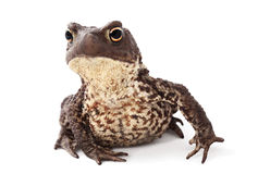 Curious toad Royalty Free Stock Photo