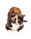 Curious Tortie Cat Laying Over White Stock Photos