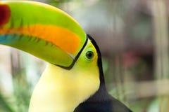 Curious Toucan Close Up Stock Photo