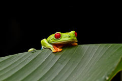 Curious tree frog Stock Photography