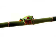 Curious Tree Frog. Red-Eyed Tree Frog perching on bamboo and isolated on white background Stock Photos