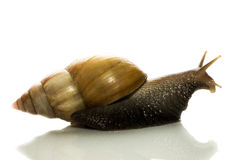 Curious tree snail peeps out from behind cover on a white background Royalty Free Stock Images