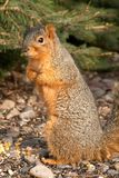 Curious Tree Squirrel. Standing Stock Image