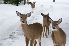 Curious Trio. Three deer stand in a snow covered driveway, curious about the photographer and his camera Royalty Free Stock Photos