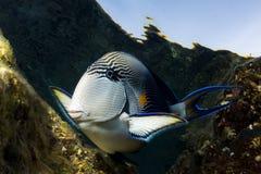 Curious tropical fish Royalty Free Stock Photos