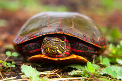 Curious Turtle Peeks Head From Shell. Painted Turtle Hiding In Shell Becomes Curious And Peeks Head Out royalty free stock photography