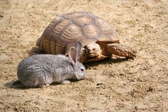 A curious turtle is watching the crawl. A turtle and a rabbit. stock photos