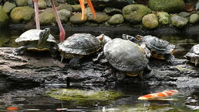 Curious turtles watching 2 flamingos passing by stock footage