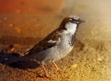 Curious urban sparrow Stock Image