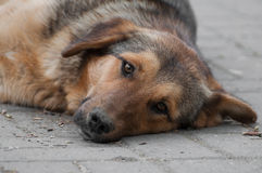 Curious vagabond dog resting looking ahead Stock Photo