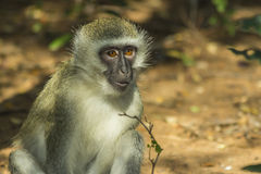 Curious vervet monkey has its mouth open. On the ground Stock Image