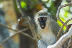 Curious vervet monkey has its mouth open. In a tree Stock Photos
