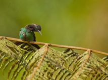 A curious Violet-fronted Brilliant Hummingbird Stock Images