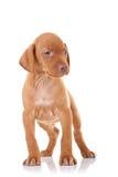 Curious vizsla puppy Stock Images